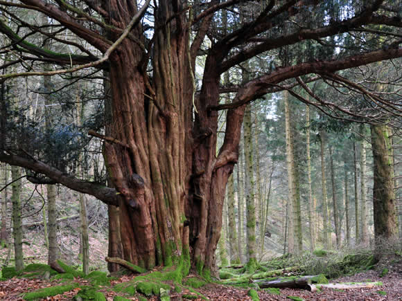 Photo of yew tree at Great Knott Wood. Photograph: Michelle Blackburn